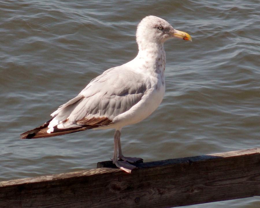 Seagull Photograph - The Watcher by Angelika MacDonald