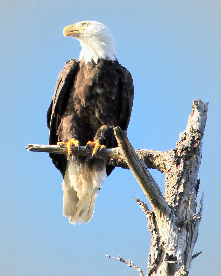 Bald Eagle Photograph - The Watcher by Dorothy Hilde