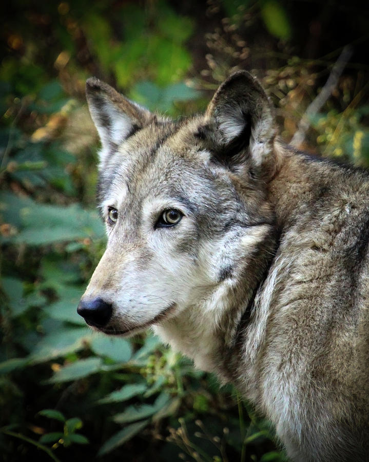 Wolf Photograph - The Wolf by Steve McKinzie