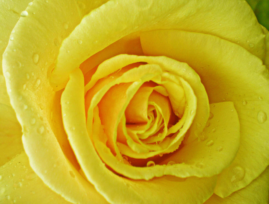 The Yellow Rose Of Photograph by Susan Knott