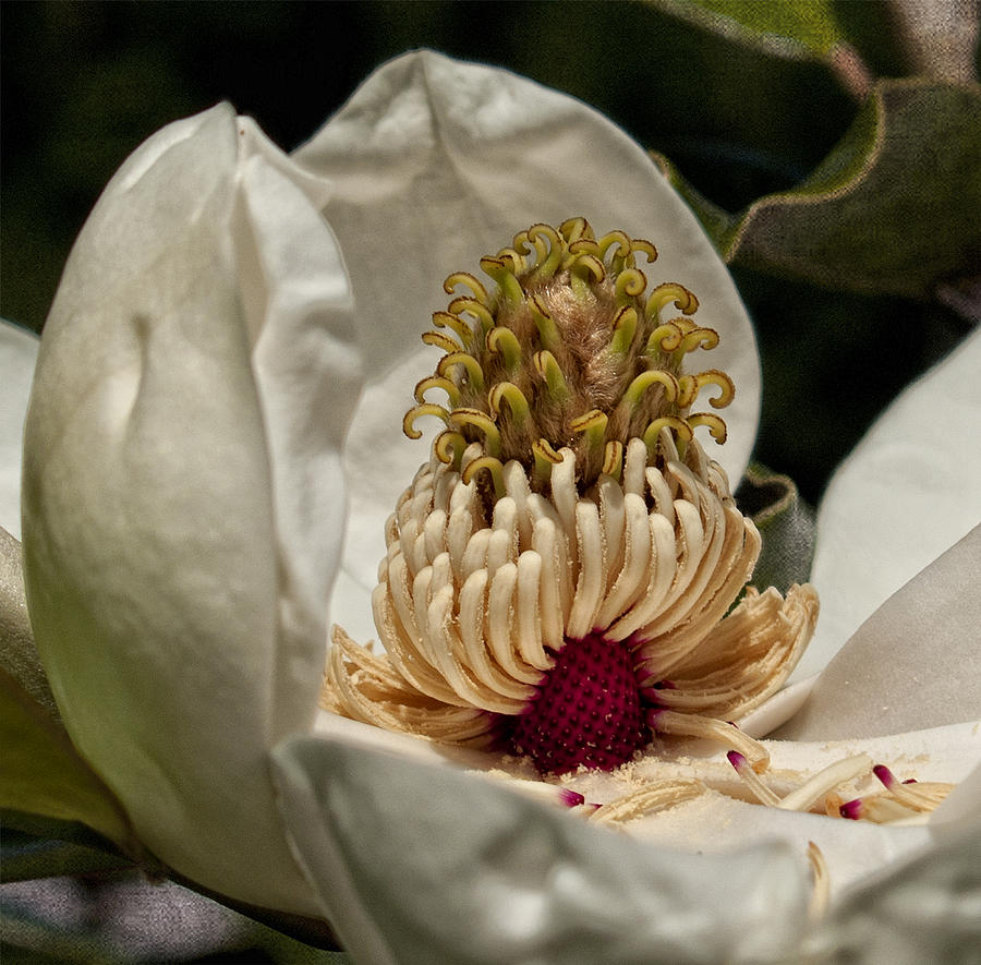 Magnolia Photograph - Third Stage by Barbara Middleton
