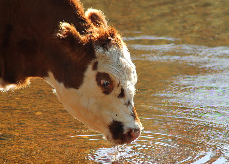 Calf Photograph - Thirsty Boy by Karen Grist