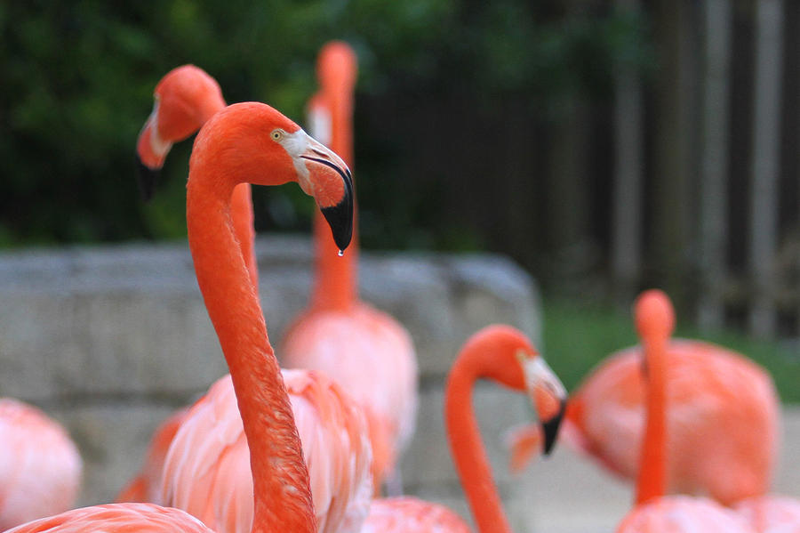 Pink Flamingos Photograph - Thirsty by Jose Rodriguez