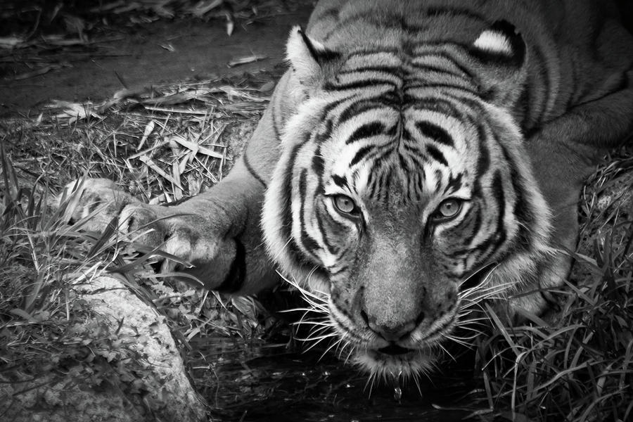 Thirsty Tiger Photograph