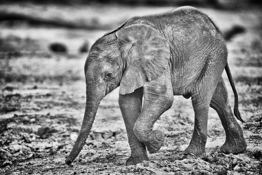 Chobe National Park Photograph - This Is Botswana No.  6 - Wait Up Mother by Paul W Sharpe Aka Wizard of Wonders