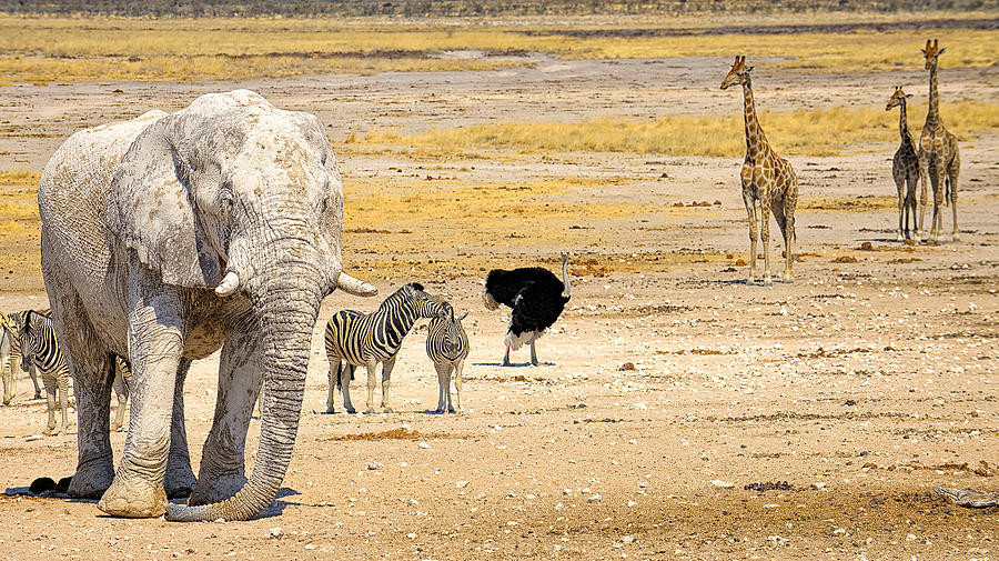 Etosha Pan Photograph - This Is Namibia No. 10 - Etosha White African Elephant  by Paul W Sharpe Aka Wizard of Wonders