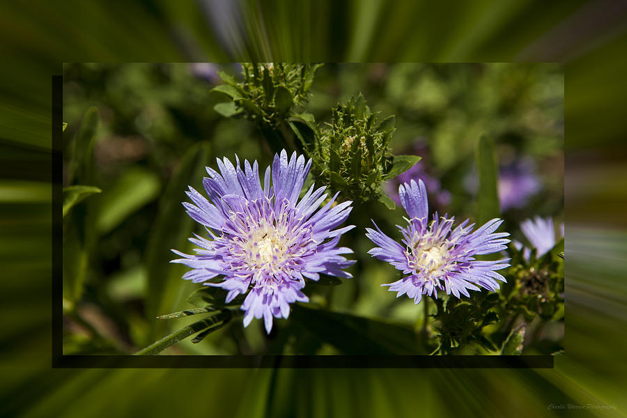 Thistle Photograph - Thistle 131 by Charles Warren