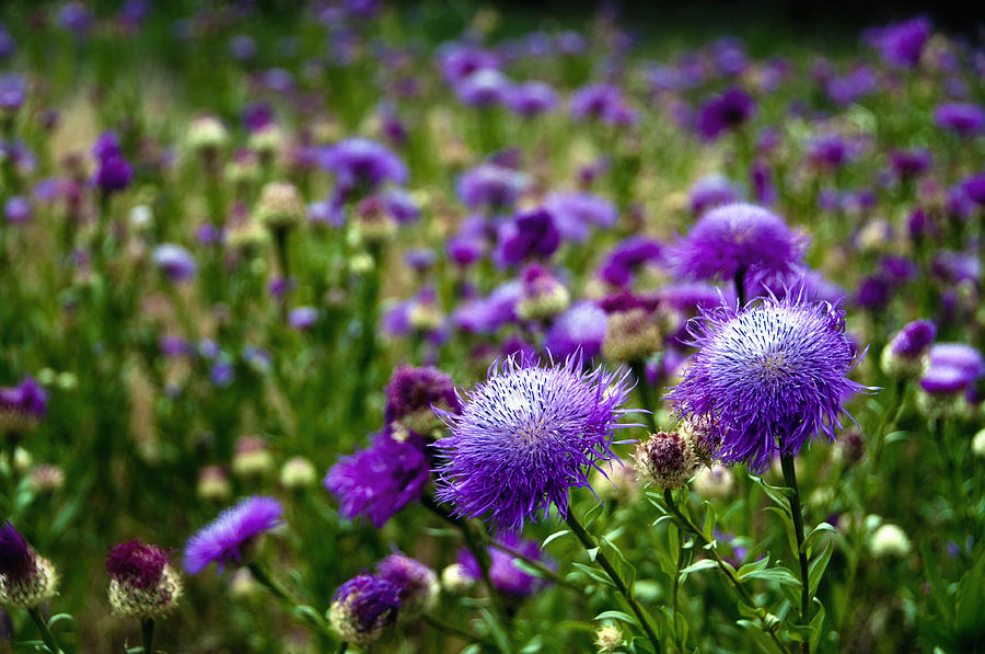 Flower Photograph - Thistle Field by Tamyra Ayles
