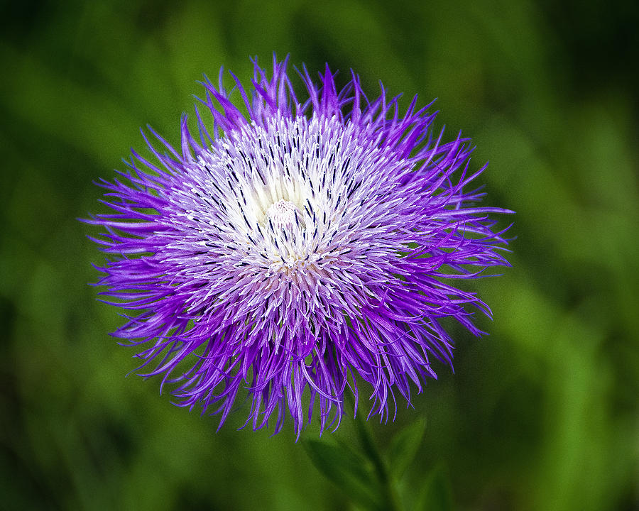 Wildflower Photograph - Thistle II by Tamyra Ayles