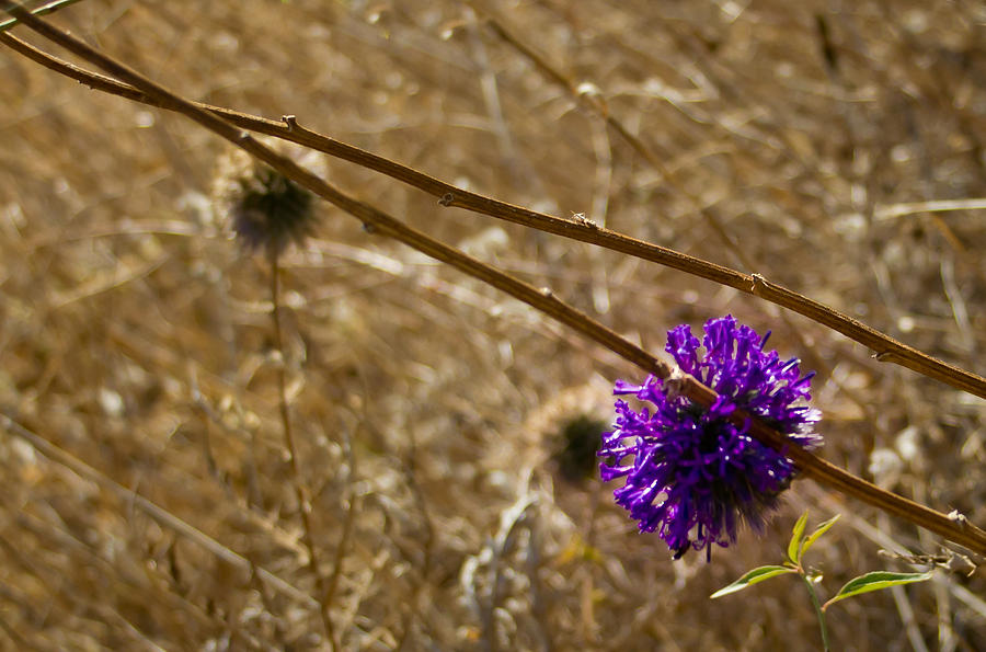 Thistle Photograph - Thistle by Nadya Ost