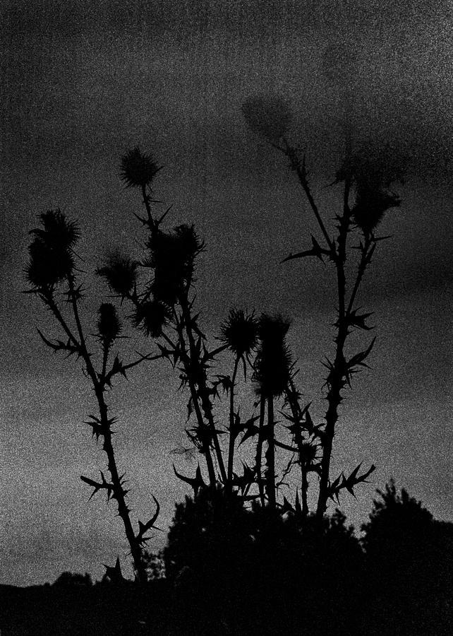 Kodak Photograph - Thistles by Hakon Soreide