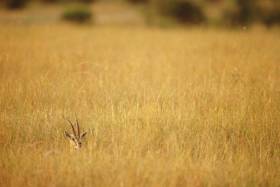 Thomsons Gazelle Gazella Thomsoni Photograph by Gerry Ellis