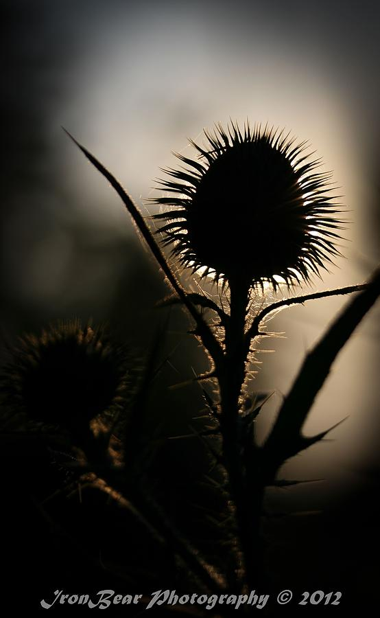 Thorn In The Sun Photograph by Ted Albert