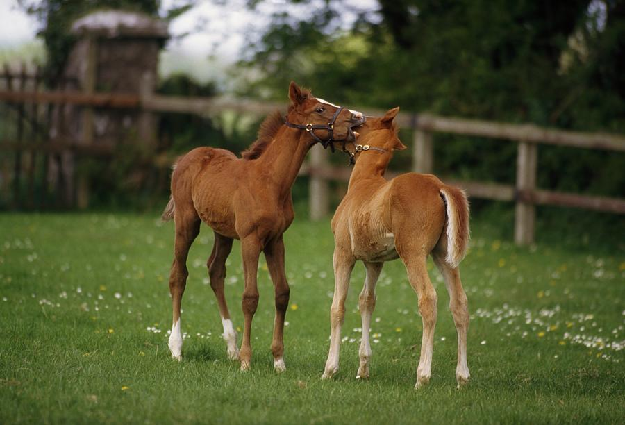 Thoroughbred Foal Ireland Photograph By The Irish Image