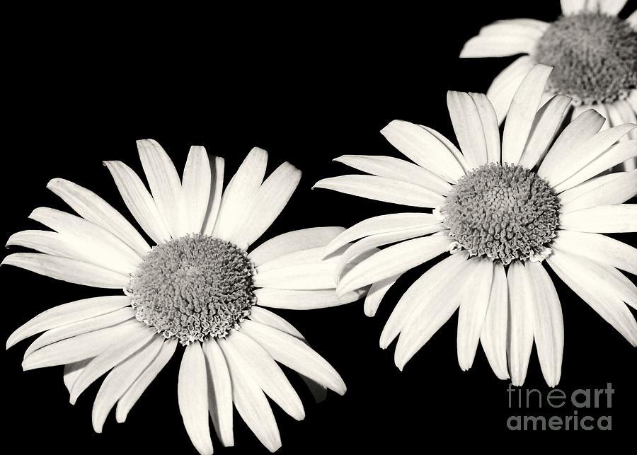 Daisy Photograph - Three Daisy Amigos by Sabrina L Ryan
