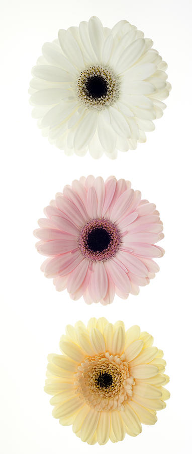 Pastel Photograph - Three Gerber Daisies by Brad Rickerby