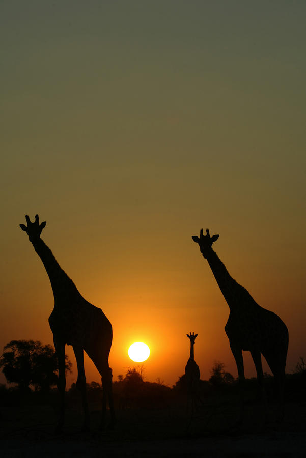 Outside Photograph - Three Giraffes Stand At Sunset by Beverly Joubert