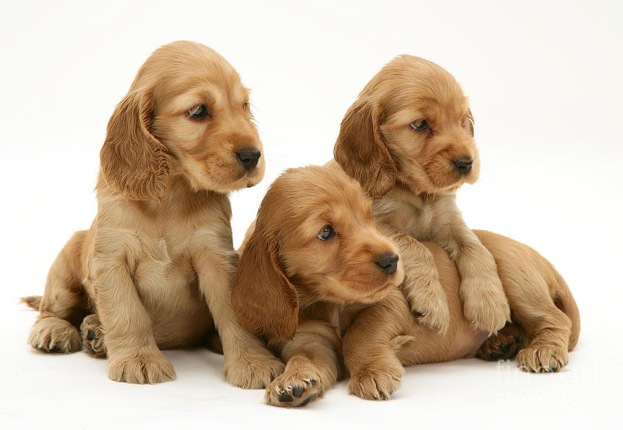 Cocker Spaniel Puppies for Sale in Scotland, Glasgow UK