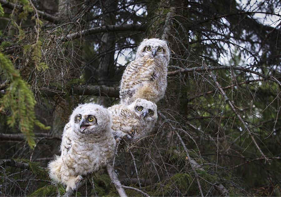 Alberta Photograph - Three Great Horned Owl Bubo Virginianus by Richard Wear
