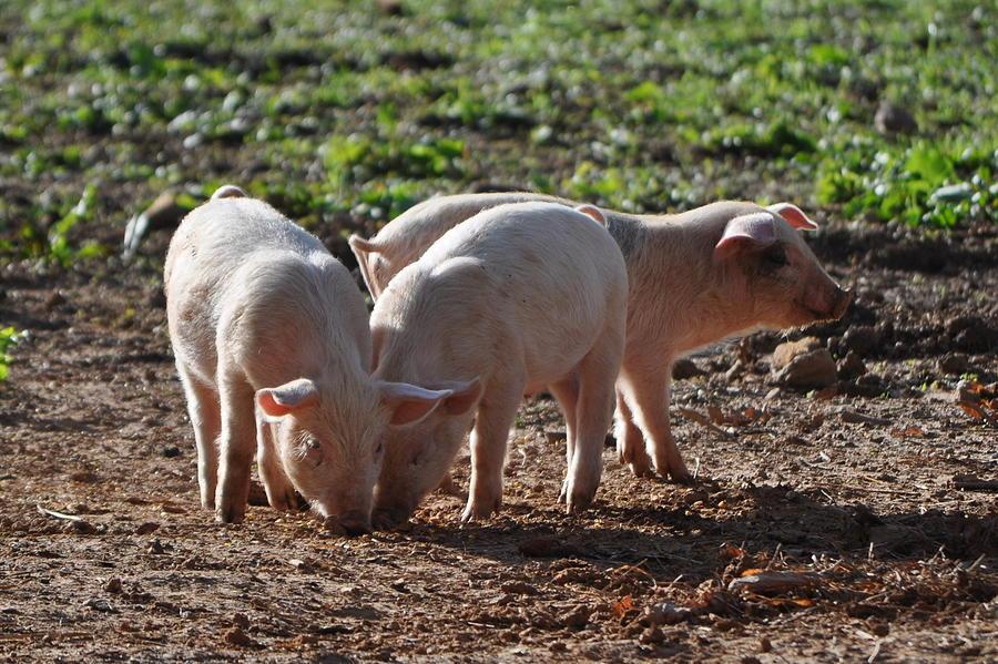 Pigs Digital Art - Three Little Pigs by Tammy Price