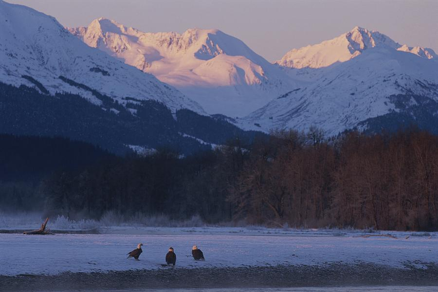 Haine Photograph - Three Northern American Bald Eagles by Norbert Rosing