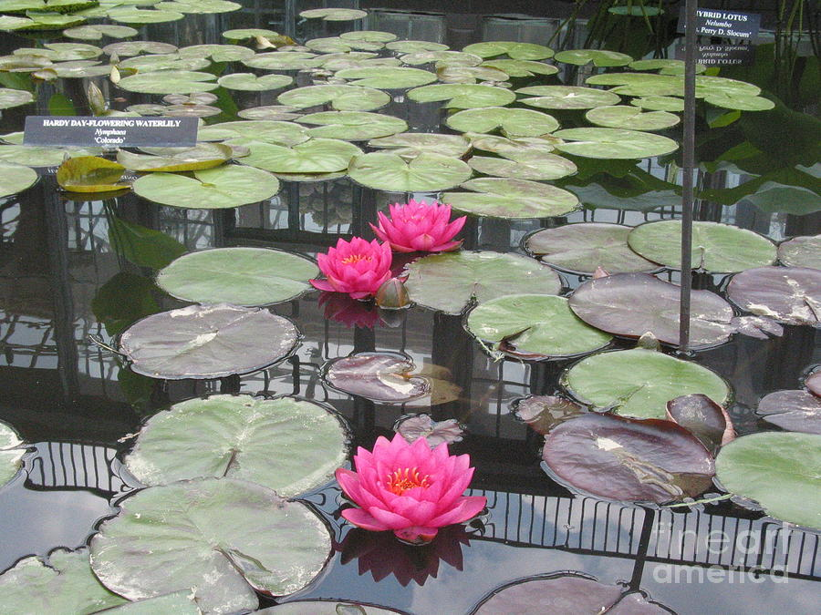 Three Pink Water Lilies Photograph by Portia Petty