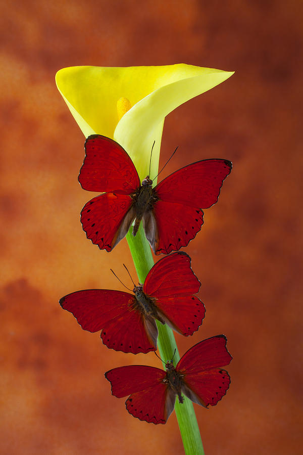 Yellow Glass Art - Three Red Butterflies On Calla Lily by Garry Gay