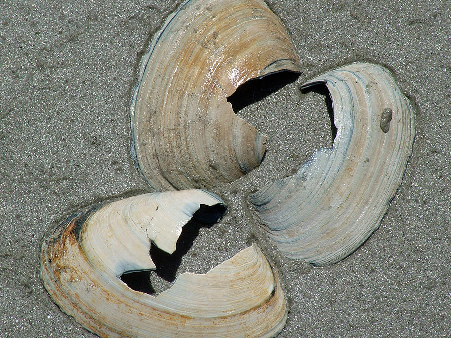 Three Shells Photograph by Fredrik Ryden