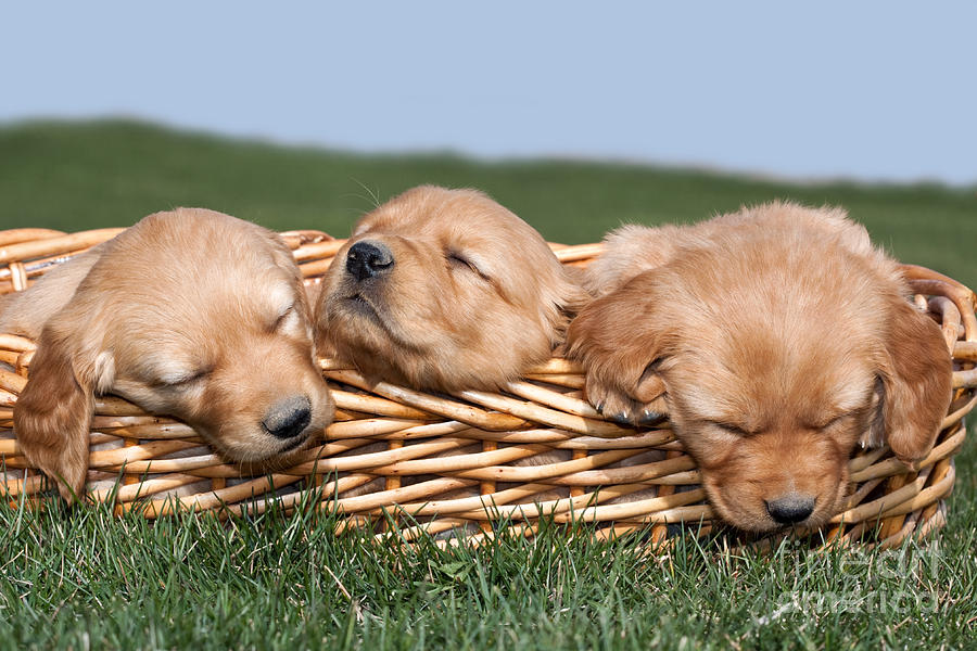 Dogs Photograph - Three Sleeping Puppy Dogs In Basket by Cindy Singleton