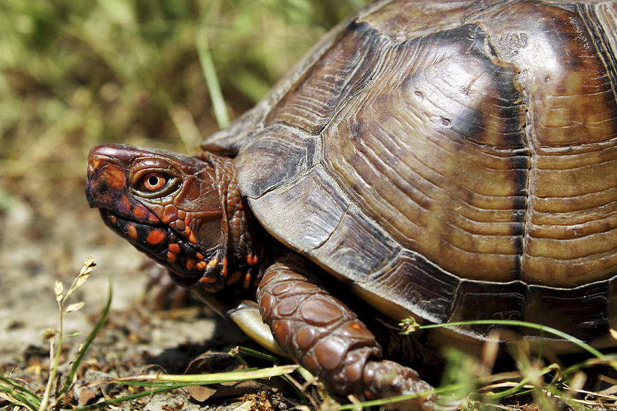 Three Toed Box Turtle Photograph By Jason Politte