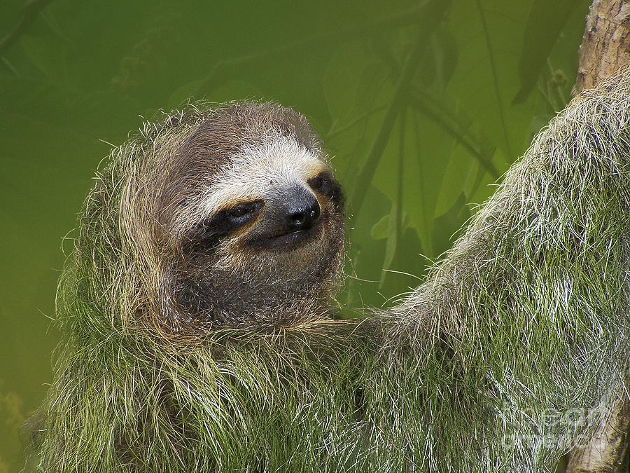 Nature Photograph - Three-toed Sloth by Heiko Koehrer-Wagner