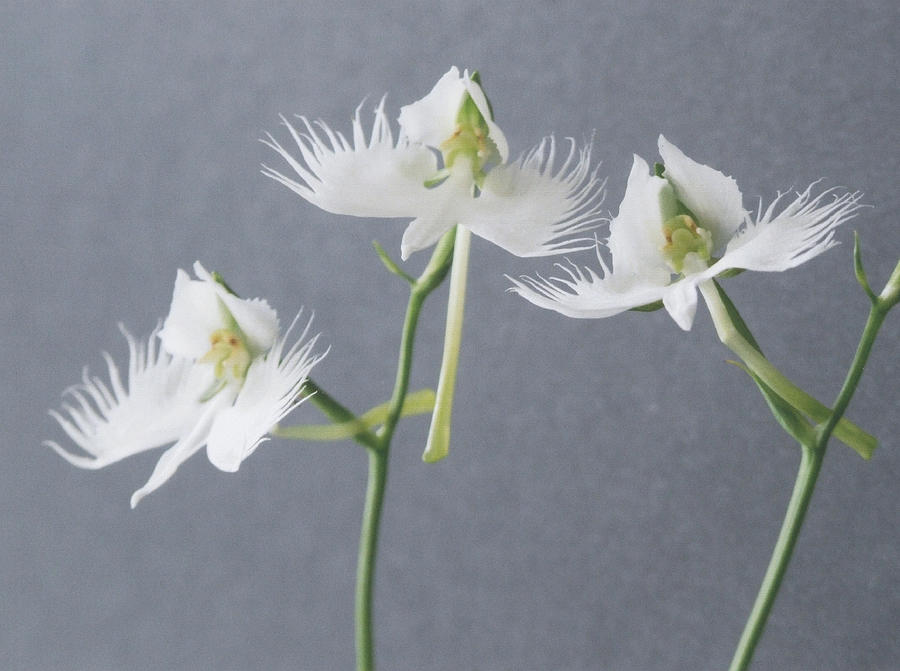 Three white egret orchid flowers photograph by ken walters white photograph three white egret orchid flowers by ken walters mightylinksfo Image collections