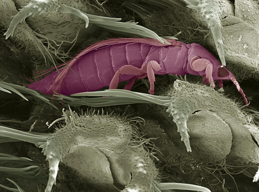 Thrips Photograph - Thrips, Sem by Steve Gschmeissner