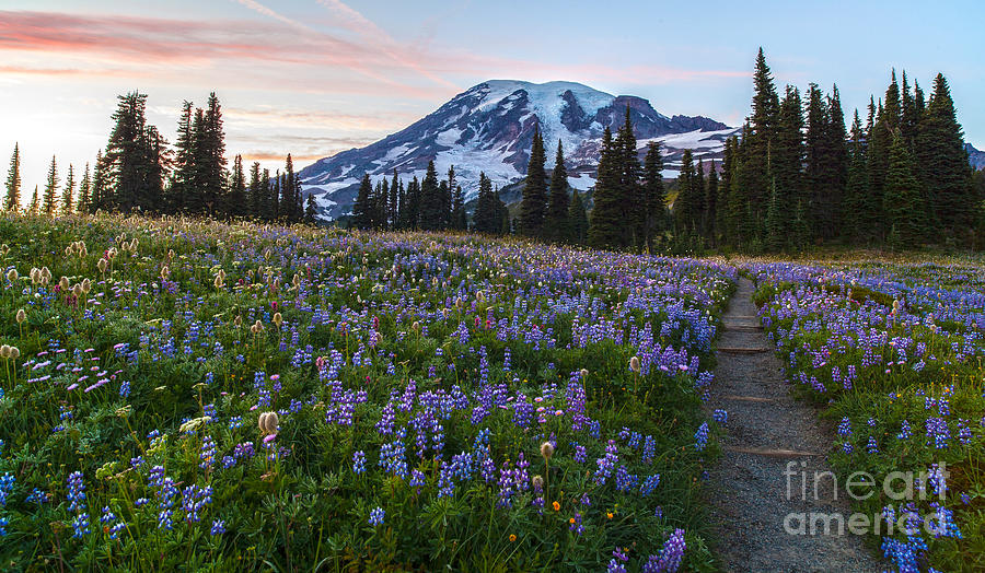 Rainier Photograph - Through The Flowers by Mike Reid