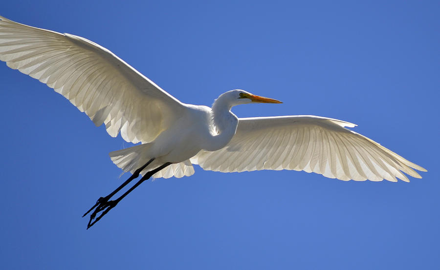 Great White Egret Photograph - Through Time And Space by Fraida Gutovich