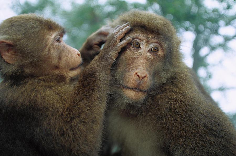 Mp Photograph - Tibetan Macaque Macaca Thibetana One by Cyril Ruoso