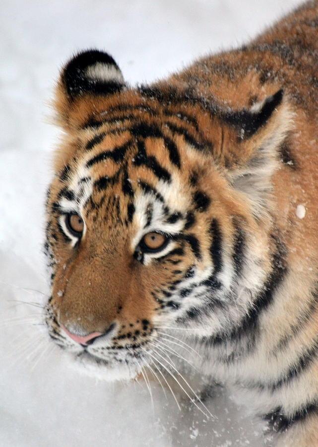 Tiger Photograph - Tiger - 2 by Christina Davis