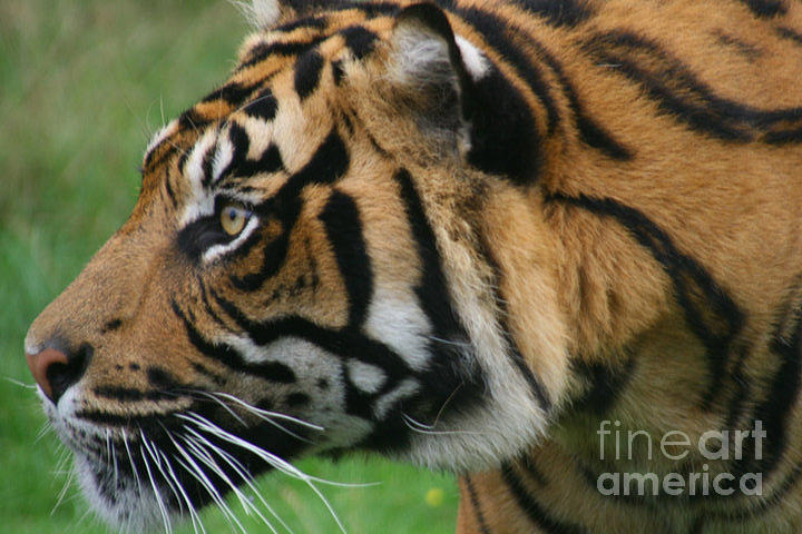 Tiger Photograph - Tiger by Carol Wright