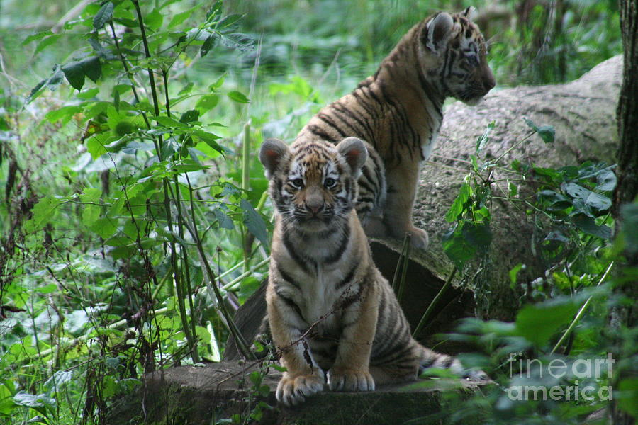 Tiger Photograph - Tiger Cubs by Carol Wright