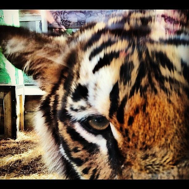 Tiger Photograph - Tiger by Lea Ward