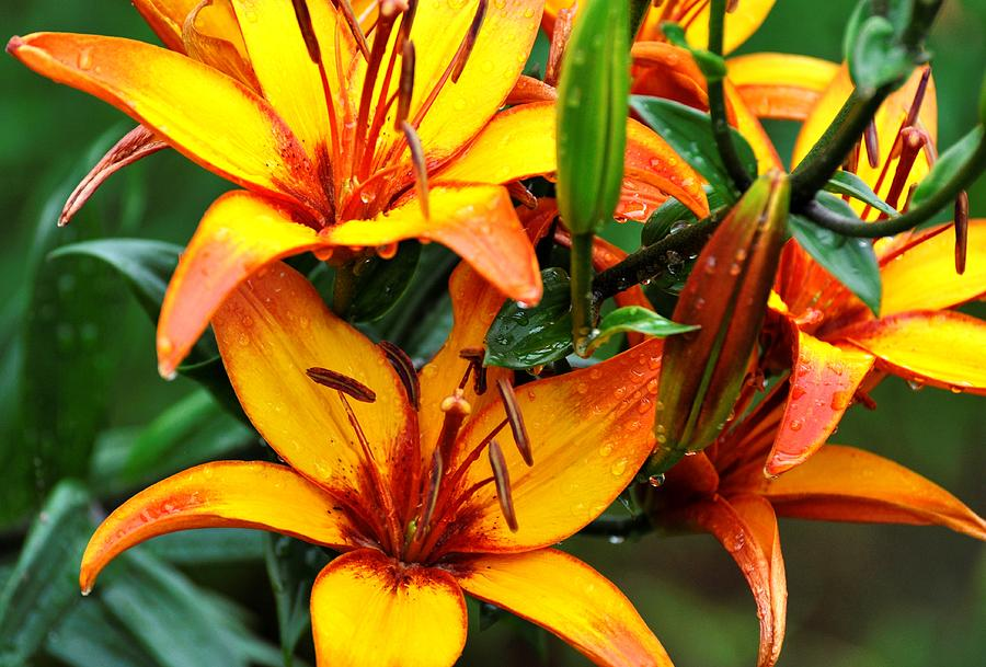 Flowers Photograph - Tiger Lily by Terri Albertson