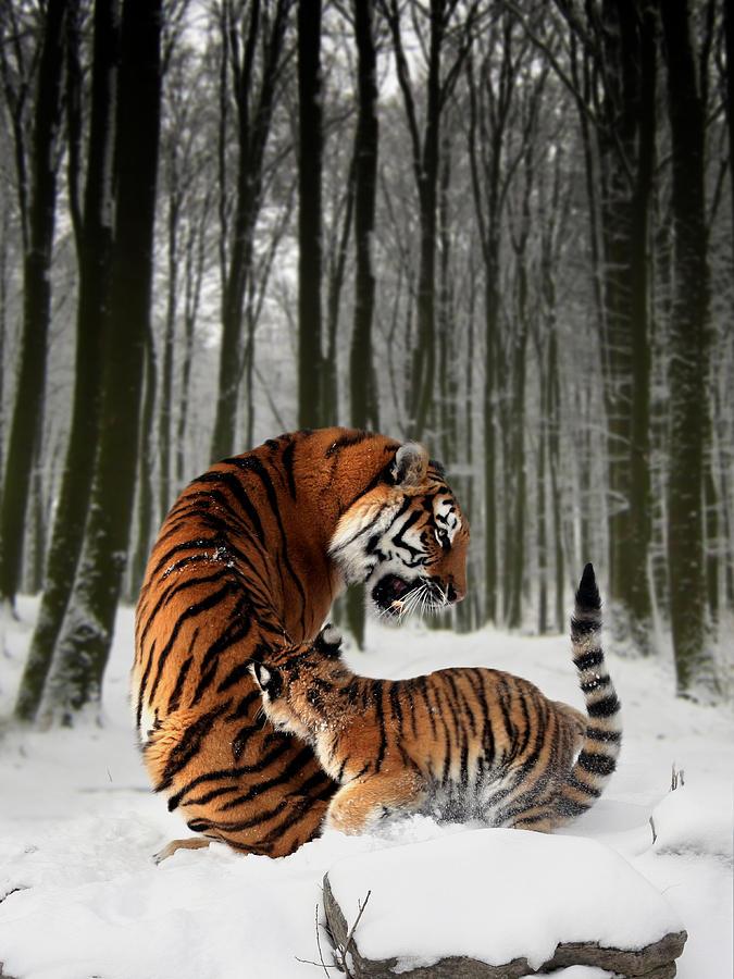 Tiger Digital Art - Tiger Mother With Cub by Julie L Hoddinott