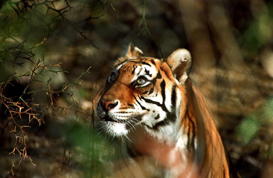 Tiger Photograph - Tiger Stare by Kurt Weiss