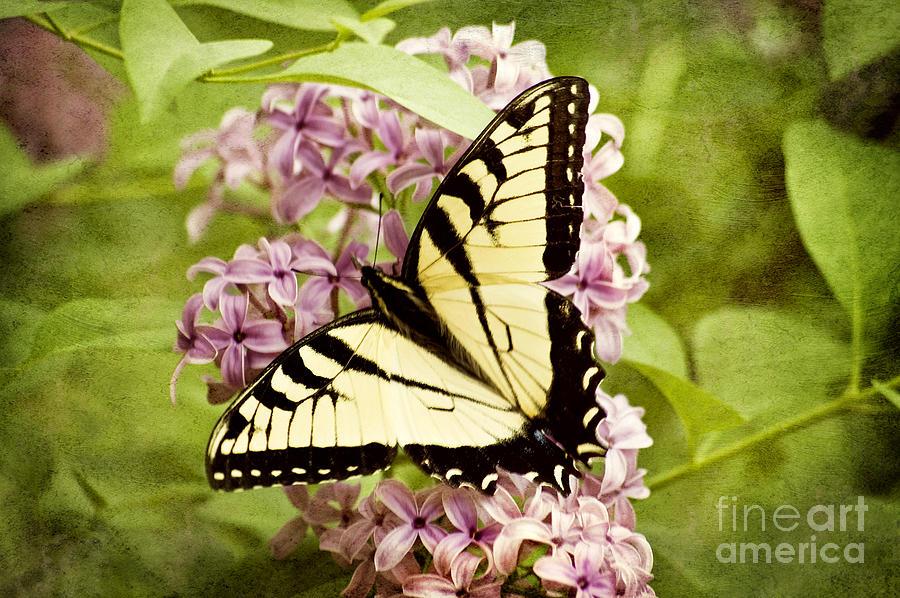 Swallowtail Photograph - Tiger Swallowtail Butterfly by Cheryl Davis