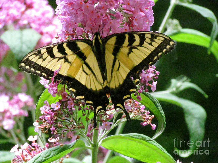Butterfly Photograph - Tiger Swallowtail Butterfly by Randi Shenkman
