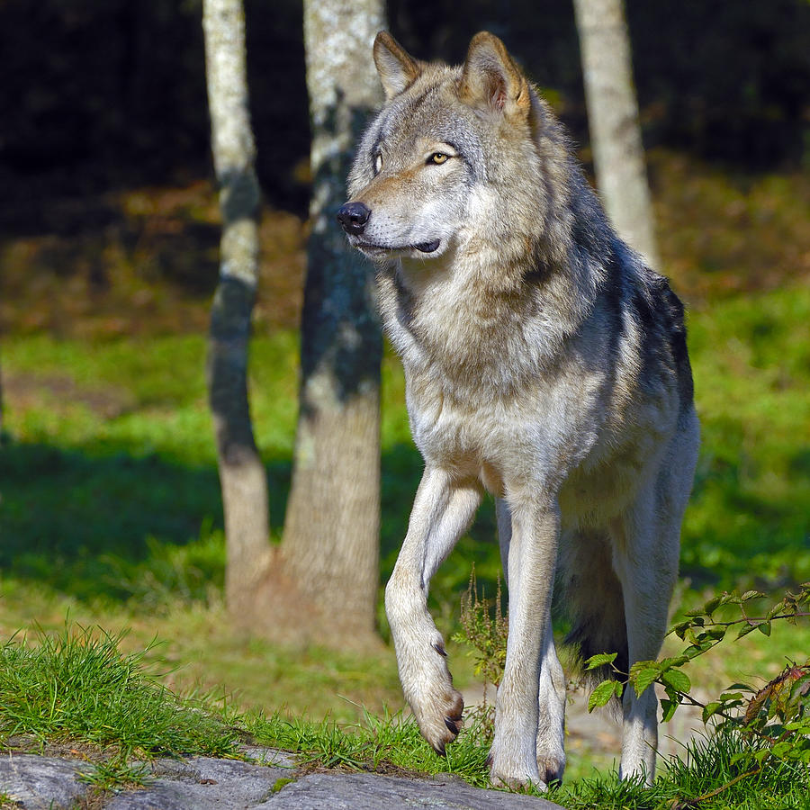 timber wolf photograph by tony beck
