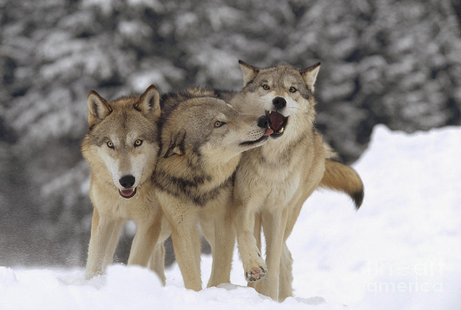 Timber Wolf Trio Playing In Snow Montana Photograph By Tim
