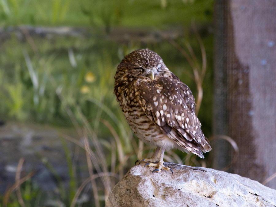 Burrowing Owls Photograph - Time For A Wee Snooze by Dick Jones
