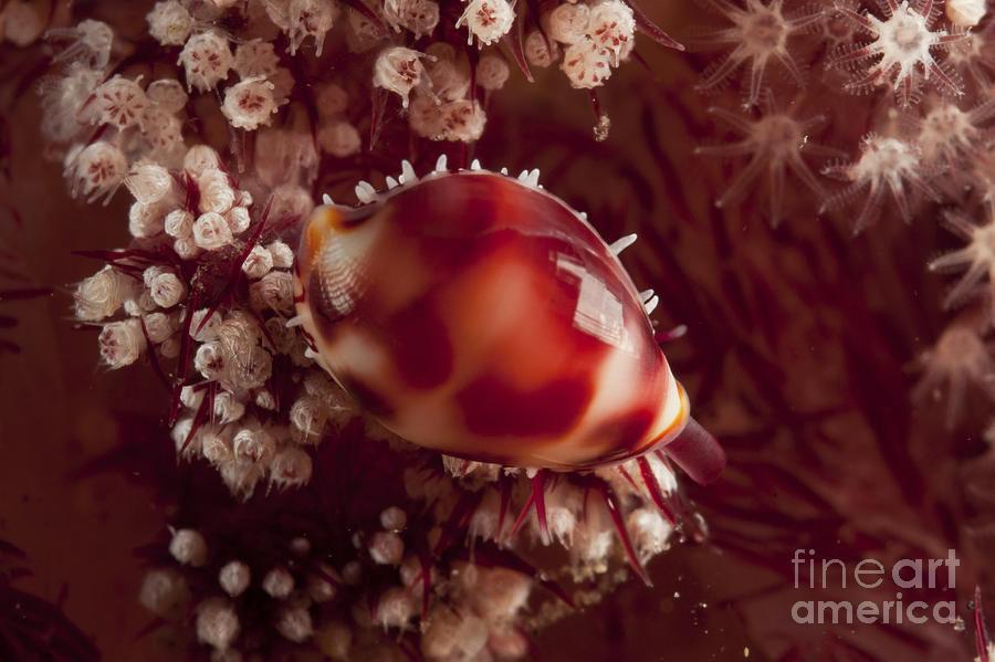 Indonesia Photograph - Tiny Cowrie Shell On Dendronephtya Soft by Mathieu Meur