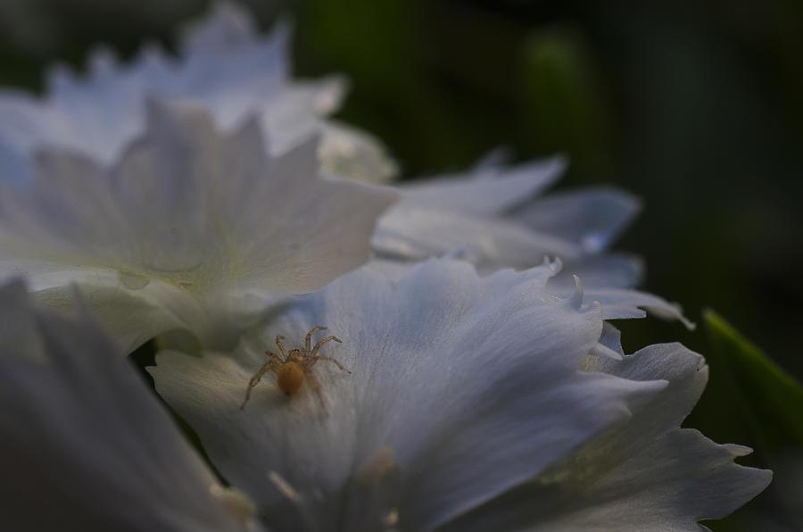 White Flower Photograph - Tiny Spider On White Flower by Scott McGuire